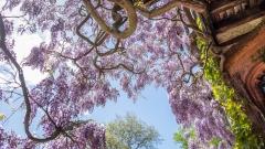 Wightwick wisteria