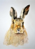 Full-Frontal-Hare